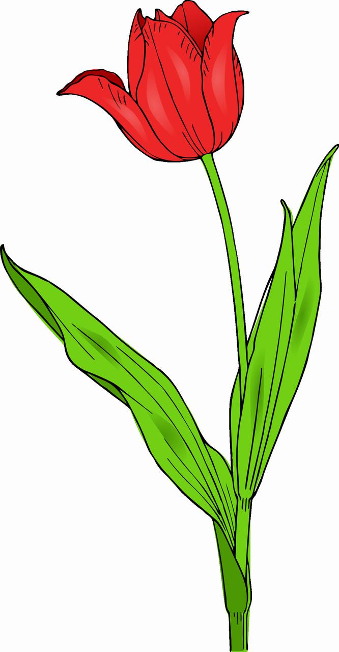 Line Drawing Of Tulip Flower : Obrázek klipart tulipán zdarma ke stažení v rozlišení